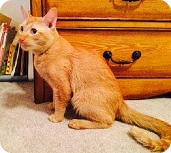 Domestic Shorthair Cat for adoption in Anchorage, Alaska - Otis