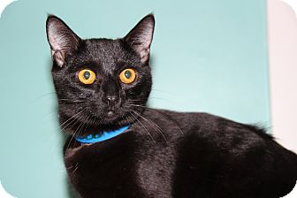 Domestic Shorthair Cat for adoption in Burbank, California - Cisco