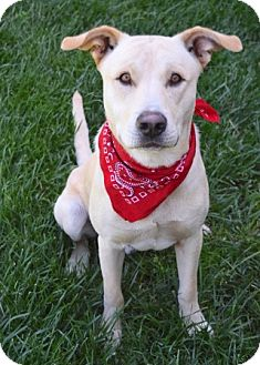 Labrador Retriever/Pit Bull Terrier Mix Dog for adoption in Dublin, California - Bowie