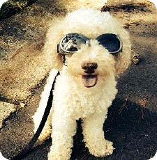 Poodle (Miniature) Dog for adoption in Atlanta, Georgia - Duffy