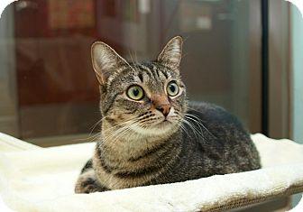 Domestic Shorthair Cat for adoption in Coronado, California - Miss Bunny