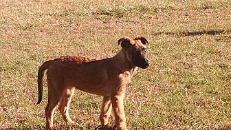 Belgian Malinois Puppy for adoption in Wattertown, Massachusetts - Aeron
