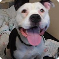 Adopt A Pet :: Gunther - Franklin, NH