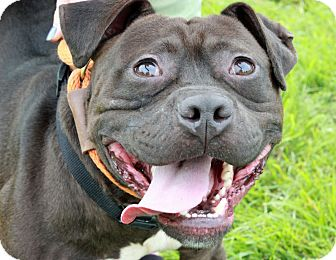 Staffordshire Bull Terrier/Bulldog Mix Dog for adoption in Troy, Michigan - Chocolate Ganache