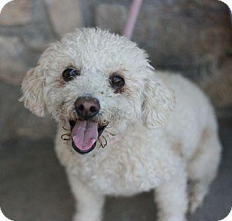 Poodle (Miniature) Mix Dog for adoption in Canoga Park, California - Bailey