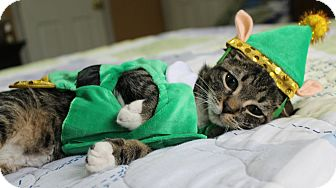 Domestic Shorthair Kitten for adoption in Ocean Springs, Mississippi - Jagger