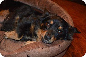 Dachshund Mix Dog for adoption in Pittsburgh, Pennsylvania - Bella