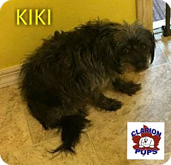Poodle (Toy or Tea Cup)/Yorkie, Yorkshire Terrier Mix Dog for adoption in Strattanville, Pennsylvania - KIKI