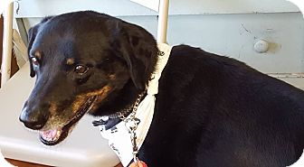 Labrador Retriever/Rottweiler Mix Dog for adoption in Edgewater, New Jersey - Rocky