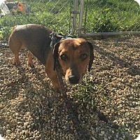 Adopt A Pet :: Bowser - Wyanet, IL