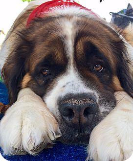 St. Bernard Dog for adoption in Denver, Colorado - Selena