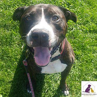 Pit Bull Terrier Mix Dog for adoption in Eighty Four, Pennsylvania - Maverick