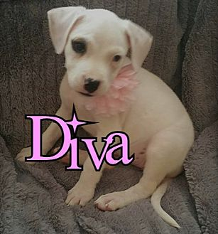 American Pit Bull Terrier Mix Puppy for adoption in Des Moines, Iowa - Diva-adoption pending