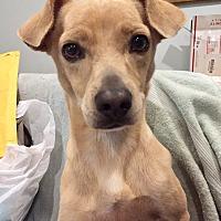 Adopt A Pet :: Desi - Santa Ana, CA
