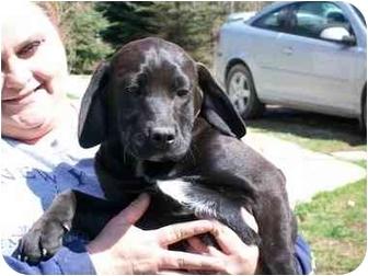 Labrador Retriever/Hound (Unknown Type) Mix Puppy for adoption in Coal City, West Virginia - Ebony