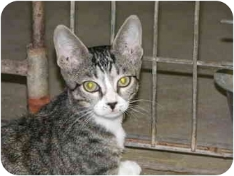 Domestic Shorthair Cat for adoption in Drumright, Oklahoma - Monkey