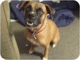 Boxer Mix Dog for adoption in Gainesville, Florida - Noodle