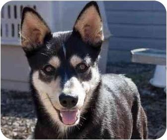Husky/German Shepherd Dog Mix Dog for adoption in Austin, Texas - Gypsy