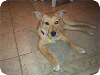 Labrador Retriever/Shepherd (Unknown Type) Mix Puppy for adoption in Bardonia, New York - Ginger