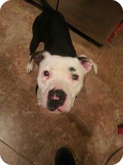American Pit Bull Terrier Mix Dog for adoption in Owasso, Oklahoma - Dini