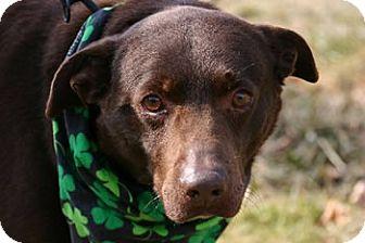 Labrador Retriever Mix Dog for adoption in Avon, New York - Ross
