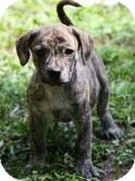 German Shorthaired Pointer/Hound (Unknown Type) Mix Puppy for adoption in Portland, Maine - Baby Brindle