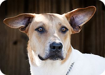 Labrador Retriever/Pointer Mix Puppy for adoption in Houston, Texas - Houdini