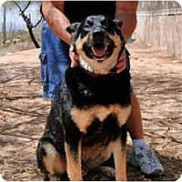 Adopt A Pet :: Ruger - Scottsdale, AZ