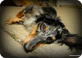Dachshund Mix Dog for adoption in Council Bluffs, Iowa - Topher