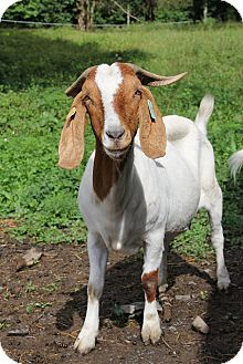 Goat for adoption in Saugerties, New York - Faye