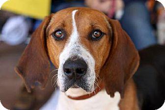 Foxhound/Treeing Walker Coonhound Mix Dog for adoption in New Smyrna beach, Florida - Daisy Duke