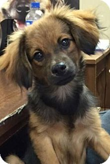 Spaniel (Unknown Type) Mix Dog for adoption in Walker, Louisiana - Kash