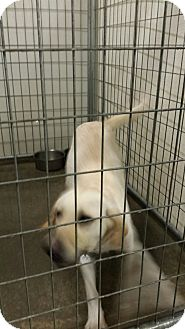 Labrador Retriever Mix Dog for adoption in Sauk Rapids, Minnesota - Mason