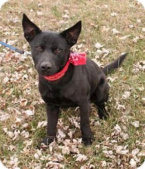 Labrador Retriever/Shepherd (Unknown Type) Mix Puppy for adoption in Newark, New Jersey - Houston