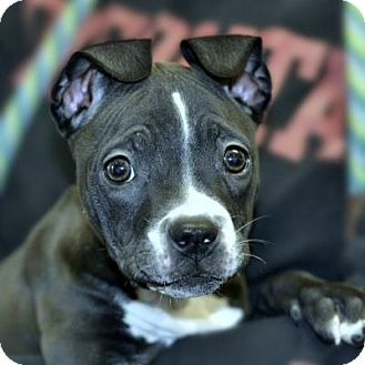 Shar Pei Mix Puppy for adoption in Denver, Colorado - Saturn