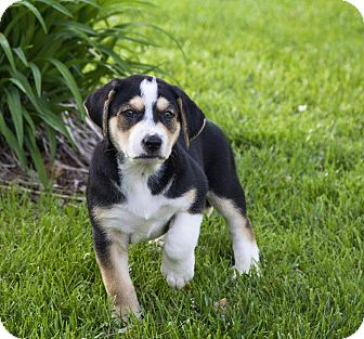 Catahoula Leopard Dog/Greater Swiss Mountain Dog Mix Puppy for adoption in Cincinnati, Ohio - Captain Jack Sparrow