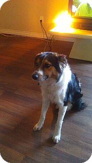 Australian Shepherd Mix Dog for adoption in Las Vegas, Nevada - Walter