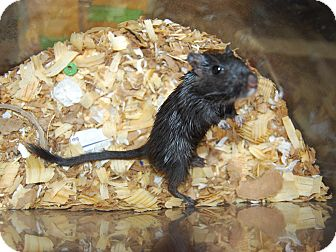Gerbil for adoption in North Judson, Indiana - Sweets