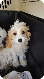 Cavalier King Charles Spaniel/Poodle (Miniature) Mix Puppy for adoption in Algonquin, Illinois - Bailey