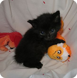 Domestic Shorthair Kitten for adoption in Geneseo, Illinois - Eight Ball