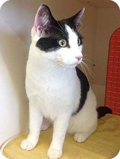 Domestic Shorthair Kitten for adoption in Merrifield, Virginia - Pamuk