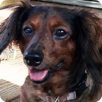 Dachshund Dog for adoption in Houston, Texas - Bella Bender