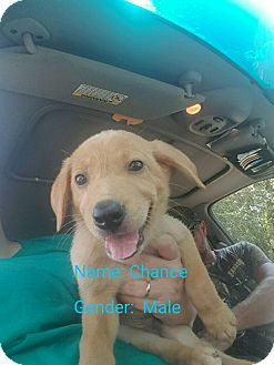 Retriever (Unknown Type) Mix Puppy for adoption in Matawan, New Jersey - Chance (adoption pending)