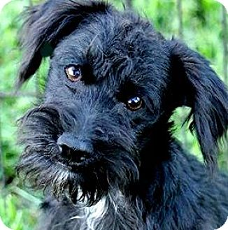"Schnauzer (Miniature)/Poodle (Miniature) Mix Puppy for adoption in Wakefield, Rhode Island - PIP(OUR ""SCHNOODLE"" PUPPY!"