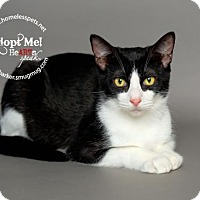 Domestic Shorthair Cat for adoption in Houston, Texas - Placido