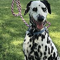 Adopt A Pet :: Bella - Turlock, CA