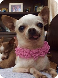 Chihuahua Mix Dog for adoption in Irvine, California - PEARL