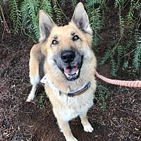 Adopt A Pet :: Sugar - Portland, OR