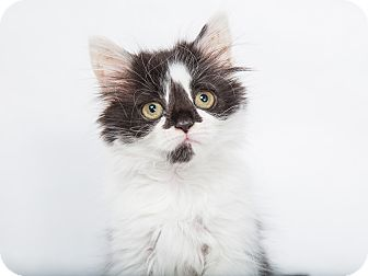 Maine Coon Kitten for adoption in Nashville, Tennessee - Demeter