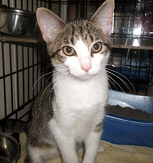 Domestic Shorthair Cat for adoption in Lombard, Illinois - Bali